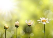 Margherite sul fondo verde della natura Fotografia Stock