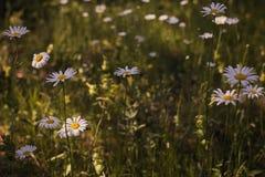 Margherite in un campo di estate immagini stock
