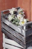 Margherite in una scatola Fotografie Stock Libere da Diritti