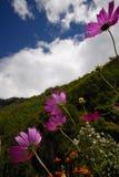 margherittes пурпуровые Стоковое Изображение RF