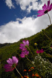 Margherittes roxos Imagem de Stock Royalty Free