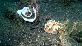 Margin glossodoris Glossodoris cincta  nudibranch with caviar in Raja Ampat stock video