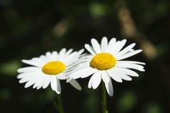 Margin rite blossoms. In spring Stock Image