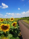 Marginaler av solrosfält med vägen, Ryssland royaltyfria bilder