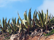 Marginata americana d'agave Photo libre de droits