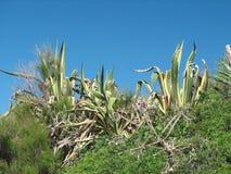 Marginata americana d'agave Image libre de droits