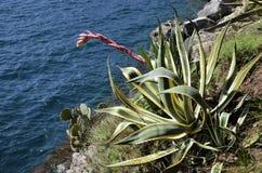 Marginata americana d'agave avec la fleur Photo libre de droits