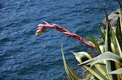 Marginata americana d'agave avec la fleur Images libres de droits