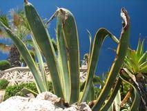 Marginata americana dell'agave Fotografie Stock Libere da Diritti
