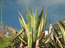 Marginata americana dell'agave Immagine Stock