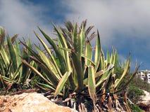 Marginata americana dell'agave Immagine Stock Libera da Diritti