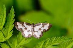 Marginata di lomaspilis della farfalla che si siede sulla foglia Fotografia Stock