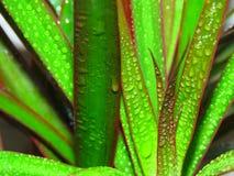 Marginata do Dracaena Dracaena afiado vermelho Árvore de dragão de Madagáscar coberta com as gotas de orvalho da água imagens de stock royalty free