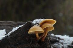 Marginata Galerina, μικρό δηλητηριώδες mushrrom στοκ εικόνα με δικαίωμα ελεύθερης χρήσης