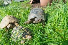 Marginated草龟-陆龟marginata鲣类,在中心 免版税库存照片