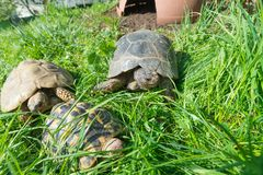 Marginated sköldpadda - Testudomarginatasarda, i mitten royaltyfri foto