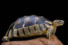 Marginated tortoise (Testudo marginata) Royalty Free Stock Photos