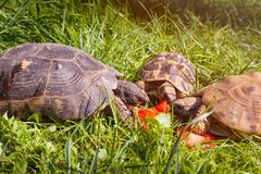 Marginated tortoise Testudo marginata sarda lewica w zielonej łące, Typowy żółw Sardinia z dwa pospolitymi żółwiami Obraz Stock