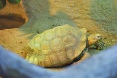 The marginated tortoise, or Testudo marginata Royalty Free Stock Image