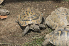 Marginated tortoise (Testudo marginata). Royalty Free Stock Image