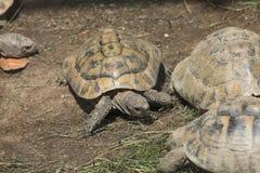 Marginated tortoise (Testudo marginata). Royalty Free Stock Image