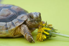 Marginated turtoise Stock Photography