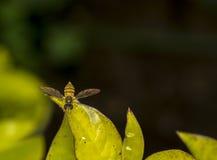 Marginatus de Toxomerus o mosca de la flor en una hoja verde Imágenes de archivo libres de regalías