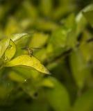 Marginatus de Toxomerus o mosca de la flor en una hoja verde Imagen de archivo libre de regalías