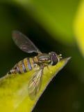 Marginatus de Toxomerus o mosca de la flor en una hoja verde Fotografía de archivo libre de regalías