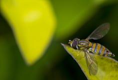 Marginatus de Toxomerus o mosca de la flor en una hoja verde Fotografía de archivo