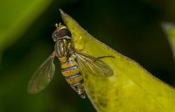 Marginatus de Toxomerus o mosca de la flor en una hoja verde Fotos de archivo libres de regalías
