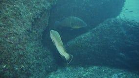 Marginatus van duistere tandbaarsepinephelus en de Bruine povere umbra van vissensciaena stock videobeelden
