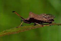 Marginatus van het insectenCoreus van de pompoen royalty-vrije stock afbeelding