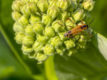 A margined soldier beetle on a milkweed. Chauliognathus marinates, or margined soldier beetle, pollinating a milkweed in a rural area royalty free stock images