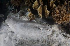 Margined Sole on Sandy Seafloor in Raja Ampat Royalty Free Stock Image