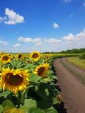 Margins of sunflower Fields with road, Russia. Margins of sunflower Fields with a road, Russia Royalty Free Stock Images