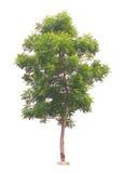 Margosa or Neem tree Stock Image