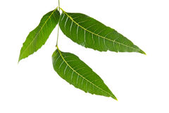 Margosa, nim or neem tree, genus Melia leaf isolated on white ba Royalty Free Stock Photo