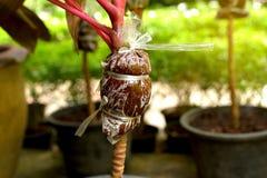 Margotta, moltiplicazione delle piante Immagini Stock Libere da Diritti