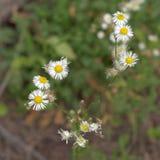 Margriet in de fase van het actieve bloeien close-up Royalty-vrije Stock Afbeeldingen