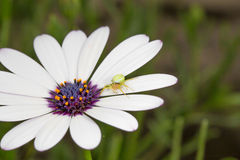 Margriet met groene spin Stock Foto's
