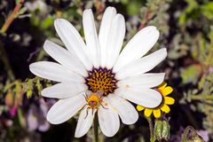 Margriet met grote honingbij royalty-vrije stock foto's