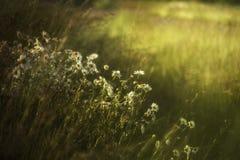 Margriet op een achtergrond van groene weiden Royalty-vrije Stock Foto's