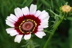 Margriet Rainbow Flower Chrysanthemum-carinatum Lizenzfreie Stockfotografie