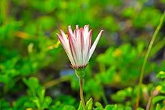 Margriet wildflower met roodachtige onderkanten stock fotografie