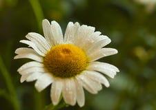 Margrietbloemblaadje na regen stock afbeeldingen