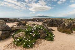 Margrieten die op strand in Takapuna groeien Stock Afbeeldingen