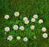 Margrieten en groen gras stock afbeeldingen