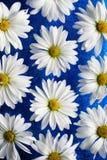 Margrieten op blauw glas royalty-vrije stock fotografie