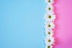 Margrieten op roos en lichtblauwe achtergrond Stock Foto